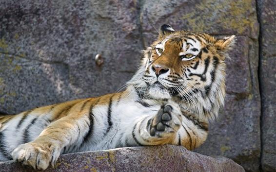Wallpaper Amur tiger, rest, paw, zoo