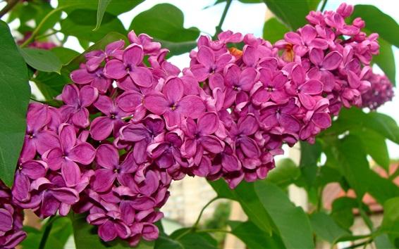 Обои Красивые сиреневые цветы, фиолетовый