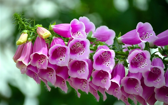 Wallpaper Beautiful pink bells flowers