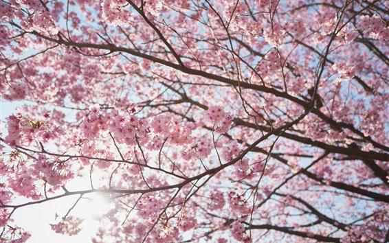 Papéis de Parede Bela flor de sakura, árvore, primavera