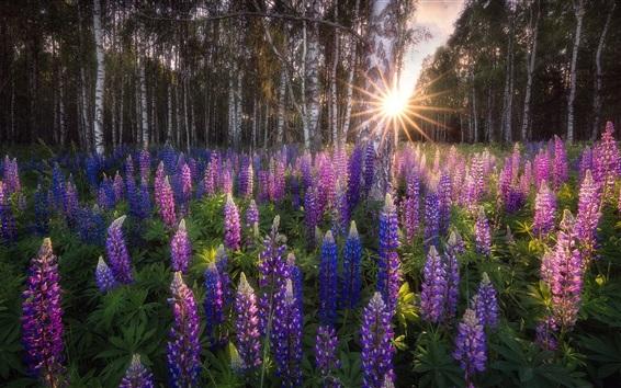 배경 화면 자작 나무 숲, 르 피나 스 꽃, 태양 광선