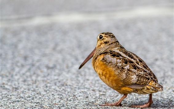 Wallpaper Bird, woodcock, beak, ground