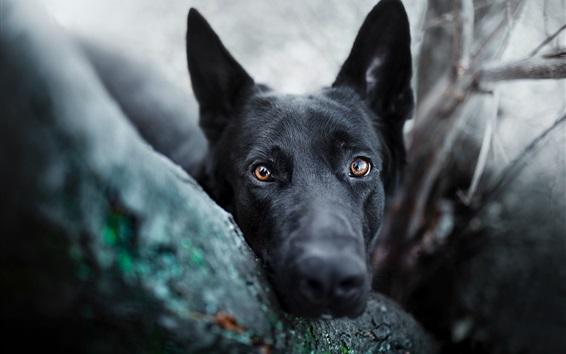 Papéis de Parede Olho de cachorro preto, rosto, olhos castanhos