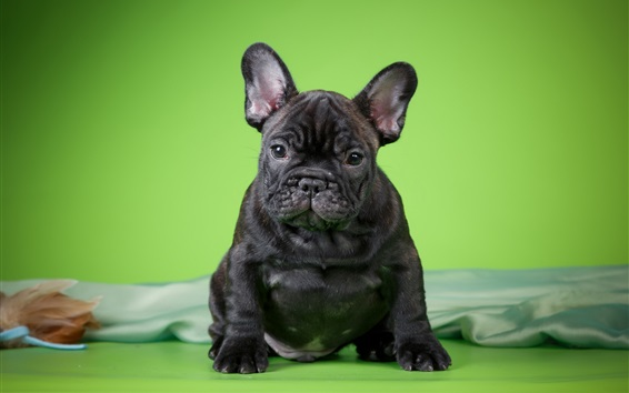 Wallpaper Black puppy front view, green background