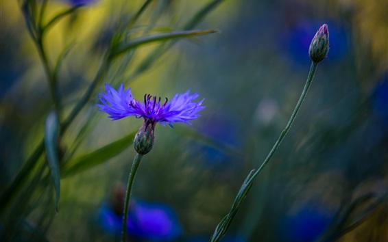 Wallpaper Blue cornflowers macro photography