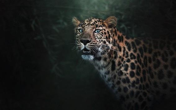 Wallpaper Blue eyes leopard, predator, teeth