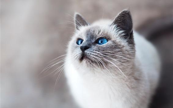 Papéis de Parede Olhos azuis, gato branco, olha para cima