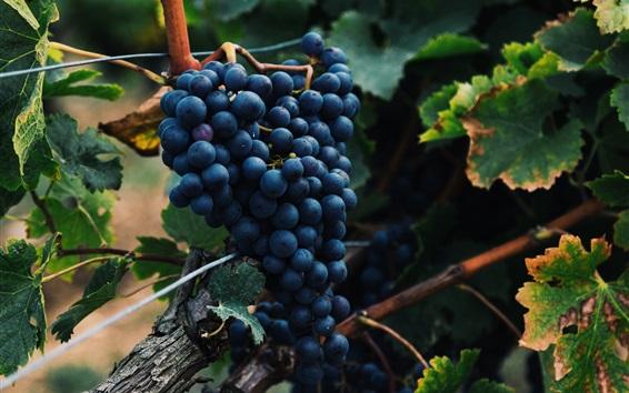 Обои Синий виноград, листья, спелые фрукты