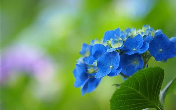 Papéis de Parede Flores de hortênsia azul, fundo verde