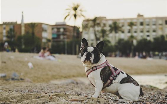 Papéis de Parede Bulldog olha para trás, areia