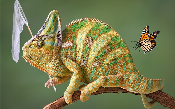 Wallpaper Chameleon hunting butterfly, funny animals