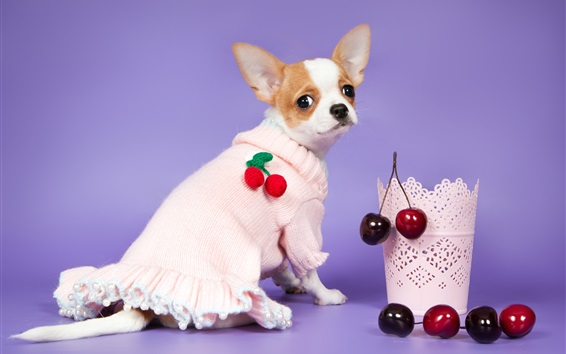 Wallpaper Chihuahua dog look back, sweater, cherry