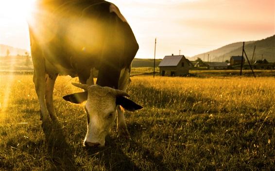 Papéis de Parede Vaca come grama, manhã