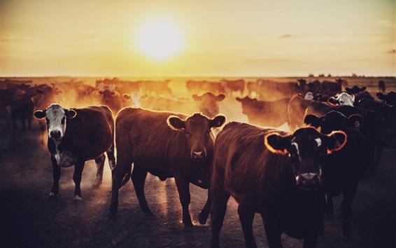 Papéis de Parede Vacas, amanhecer, nascer do sol