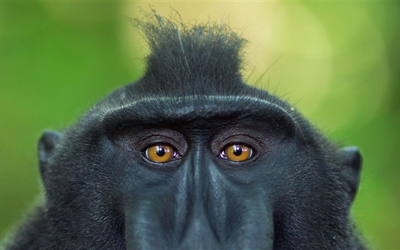 Wallpaper Crested baboon, face, eyes, Sulawesi, Indonesia