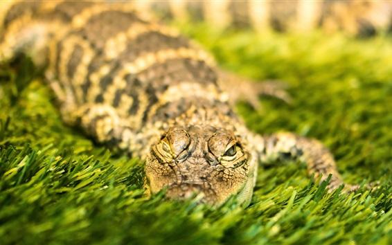 Papéis de Parede Descanso de crocodilo na grama