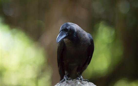 Fond d'écran Corbeau, oiseau noir, fond vert