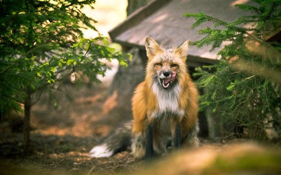 Fond d'écran Vue de face de renard mignon, brindilles