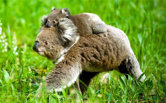 Papéis de Parede Koala bonito, mãe e filhote