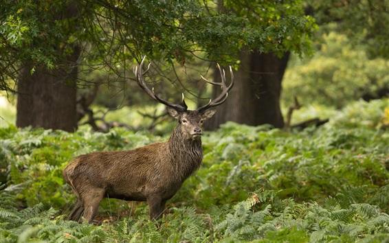 Wallpaper Deer, fern, trees