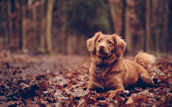壁紙 犬は座って、茶色、葉