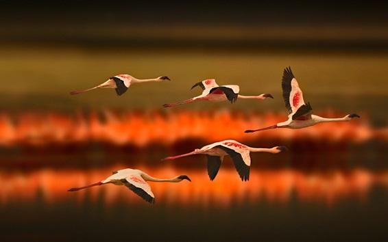 Fond d'écran Vol de Flamingo, Tanzanie, Afrique
