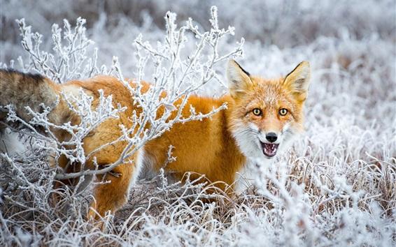 Wallpaper Fox look back, snow, bushes