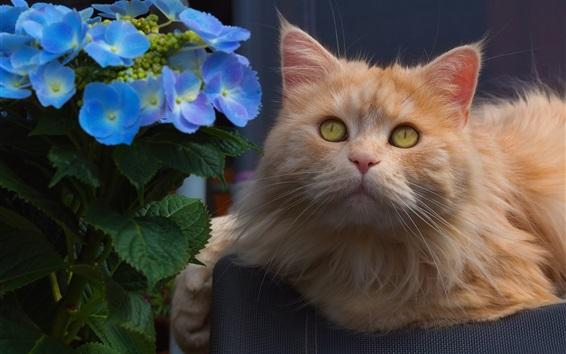 Wallpaper Furry cat look at you, hydrangea