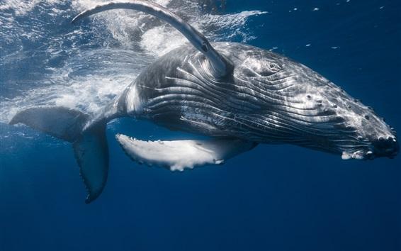 Обои Горбатый кит, подводный, морской