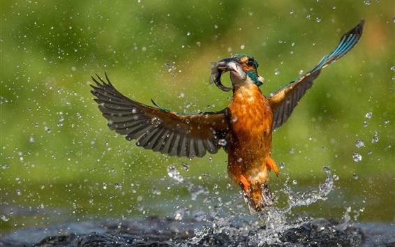 Papéis de Parede Kingfisher pega um peixe, vôo, asas, gotas de água