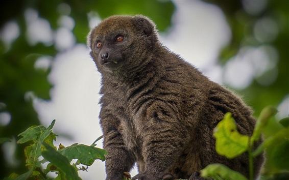 Wallpaper Lemur, look, tree