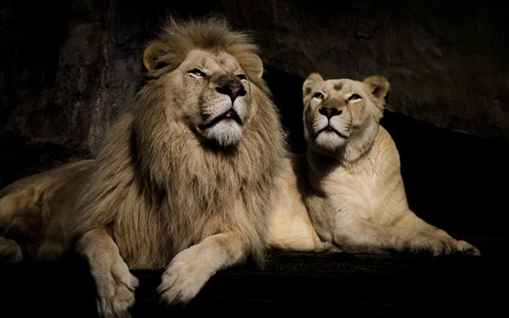 Обои Лев и львица