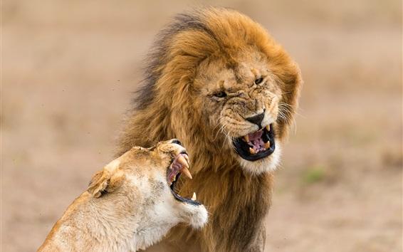 Fond d'écran Lions, famille, dents
