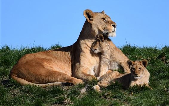 Papéis de Parede Leões, mamães e filhotes