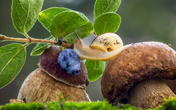 Wallpaper Mushrooms, snail, blueberry, green leaves