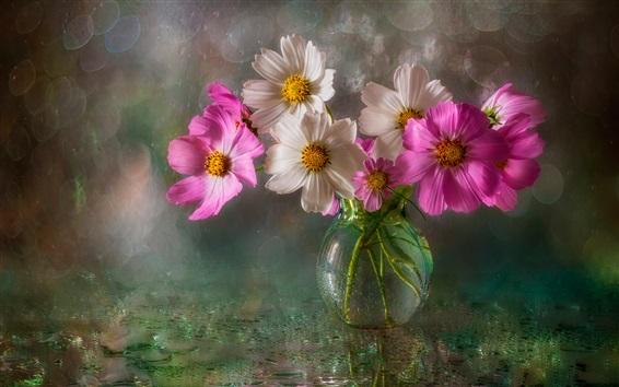배경 화면 분홍색과 흰색 코스 메야 꽃, 꽃병, 물