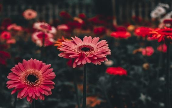Papéis de Parede Flores rosa de gerbera, bokeh