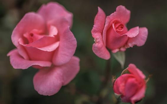 Papéis de Parede Rosas cor-de-rosa, fundo desfocado