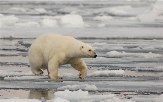 Обои Белый медведь, снег, море