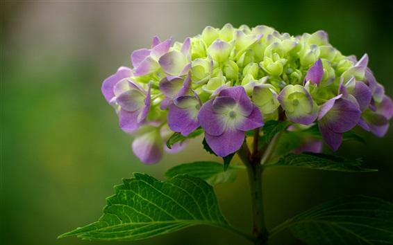 Papéis de Parede Fotografia macro macro de hortênsia verde e roxa, inflorescência