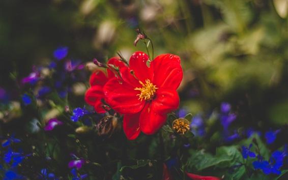 Обои Красные и синие цветы, размытые