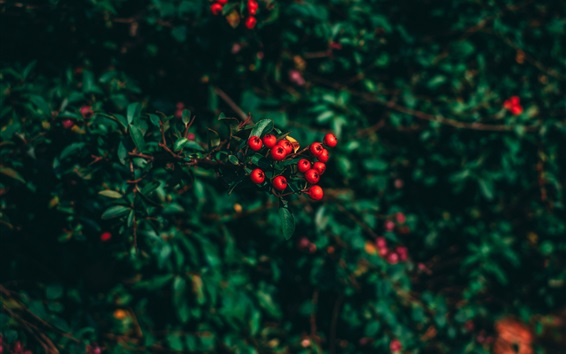 Wallpaper Red berries, leaves, blur