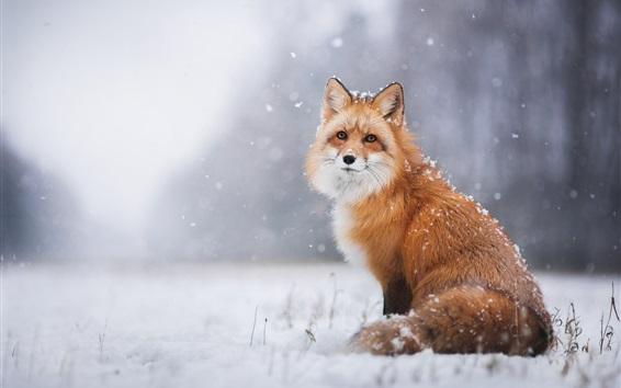 Wallpaper Red fox in the snowy winter