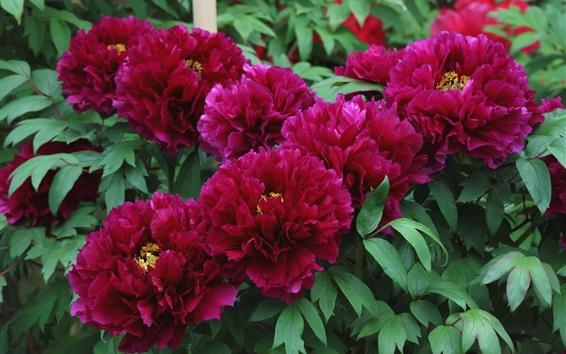 Wallpaper Red peonies, spring flowers