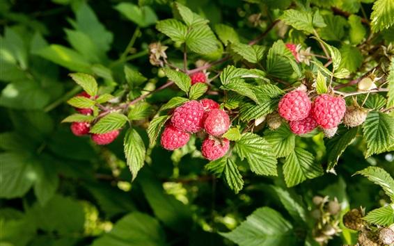 Wallpaper Red raspberry, berries, leaves