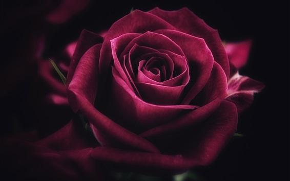 Wallpaper Red rose close-up, petals, flower