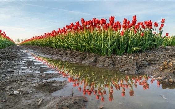 Papéis de Parede Campo de tulipas vermelhas, água, Países Baixos