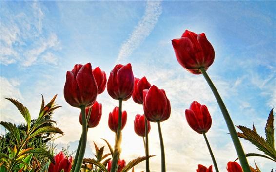 Обои Красные тюльпаны, стебли, голубое небо