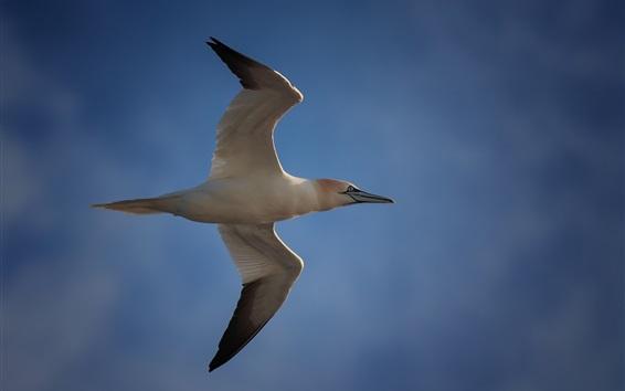 Wallpaper Seagull flight, wings, blue sky