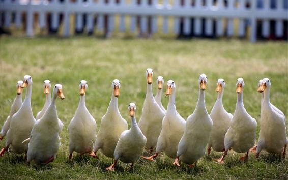 Wallpaper Some white ducks